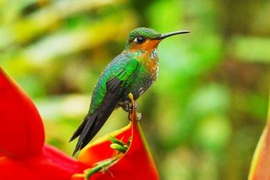pajaro-de-brillante-corona-verde-en-un-bosque-de-costa-rica