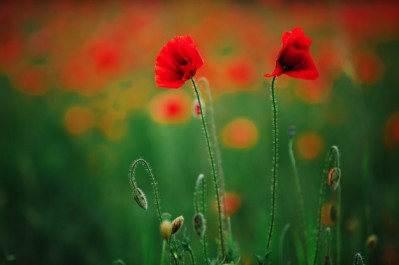 dos-amapolas-campo-flores-rojas-amapola_95401-401
